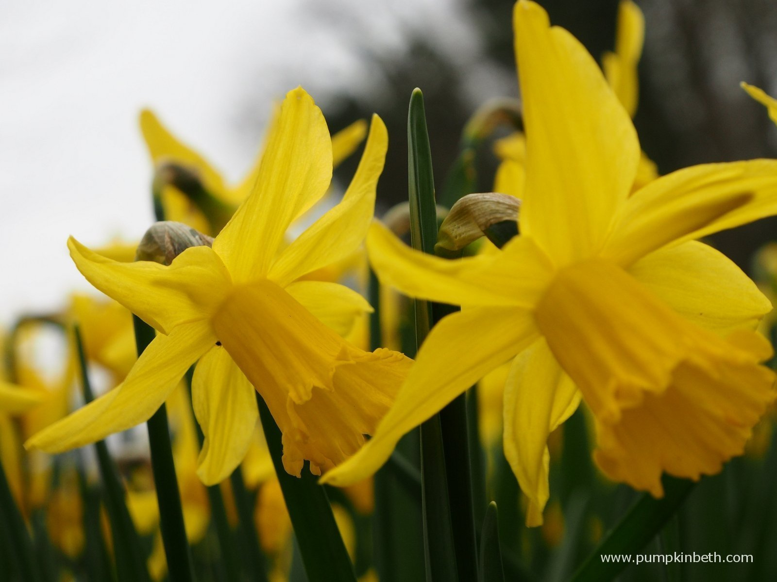 More Information About Daffodils Pumpkin Beth