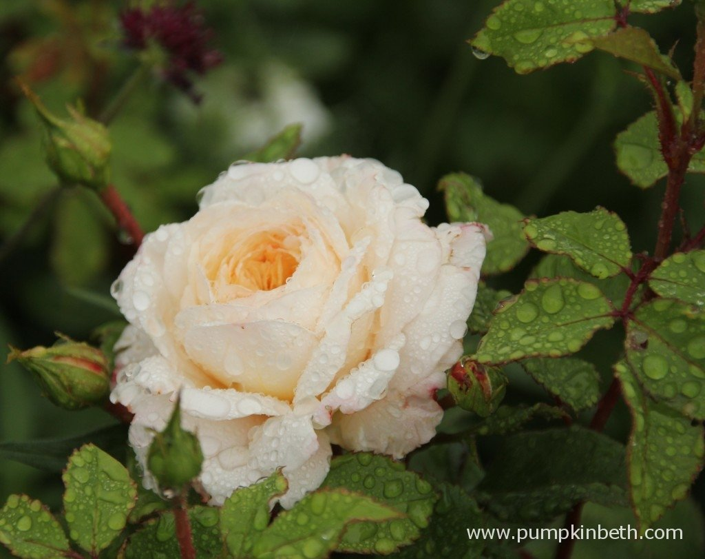 Rosa 'Crocus Rose' bred by David Austin Roses, is a healthy and beautiful rose