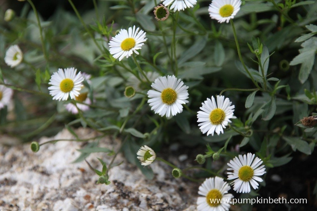 A close up of Erigeron karvinskianus in The Brewin Dolphin Garden, designed by Darren Hawkes and built by bowles and Wyer with Wheelbarrow