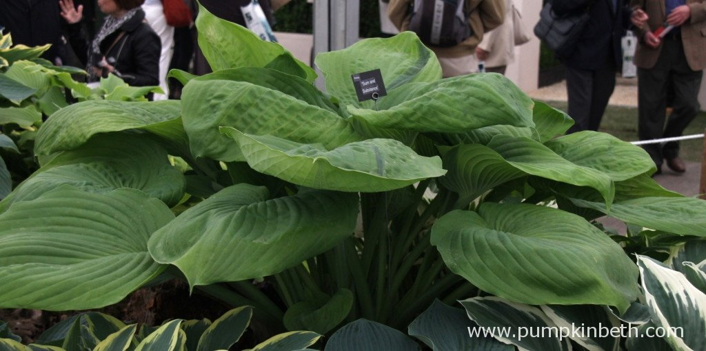 Hosta 'Sum and Substance' as seen here on the Gold Medal Winning Brookfield Plants display at RHS Chelsea Flower 2015