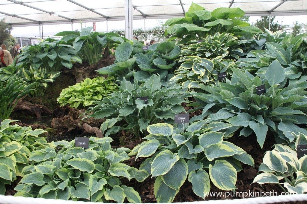 Brookfield Plants Gold Medal winning display of Hostas at the 2015 RHS Chelsea Flower Show