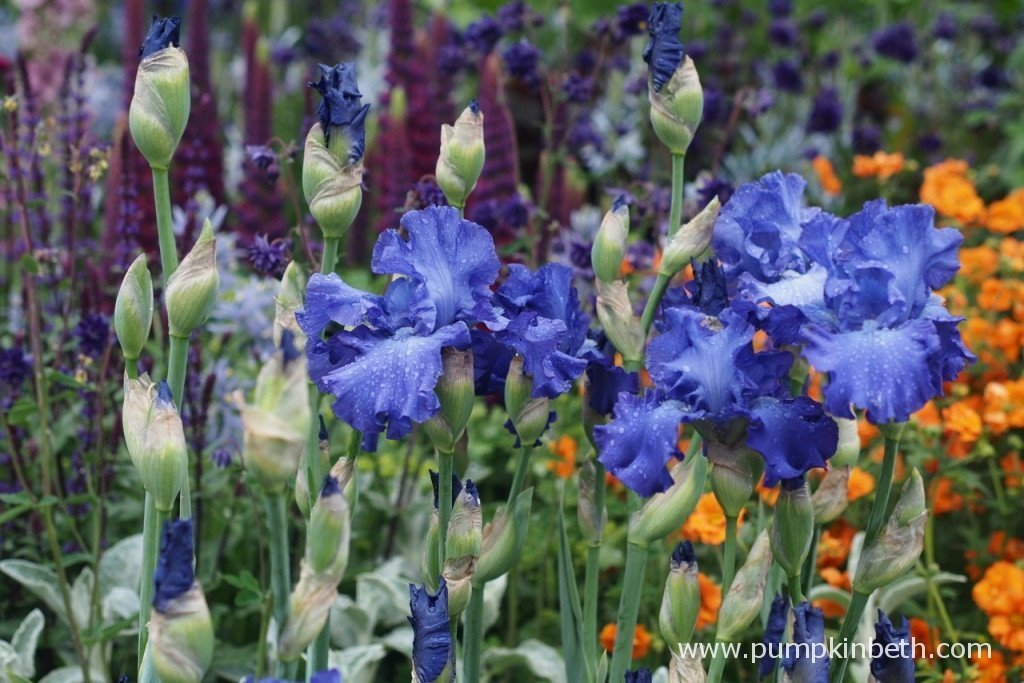 Iris 'Mer du Sud' in the Morgan Stanley Healthy Cities Garden at RHS Chelsea Flower Show.