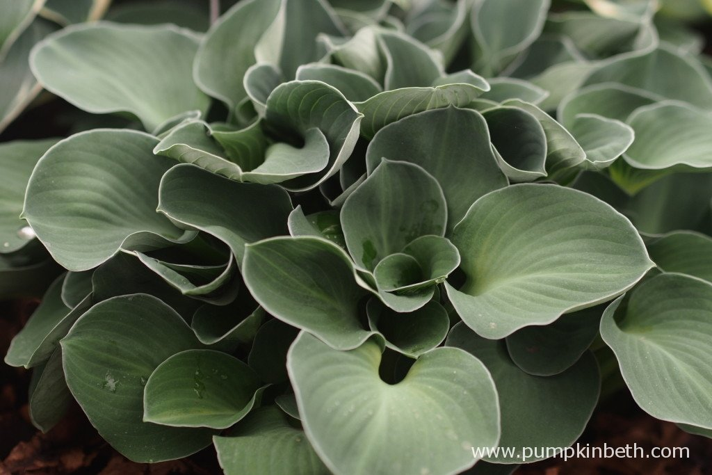 Hosta 'Blue Mouse Ears' is a sweet little Hosta that offers good resistance to slugs and snails