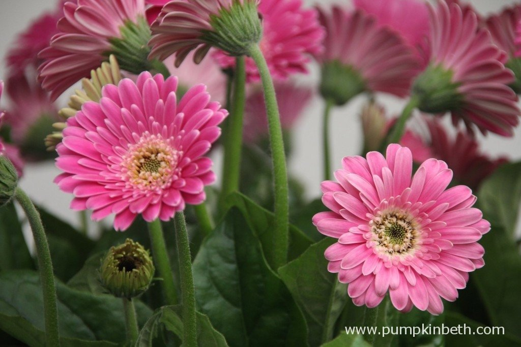Gerbera Garvinea 'Sweet Surprise' ('Garsurprise') (Garvinea Sweet Series)