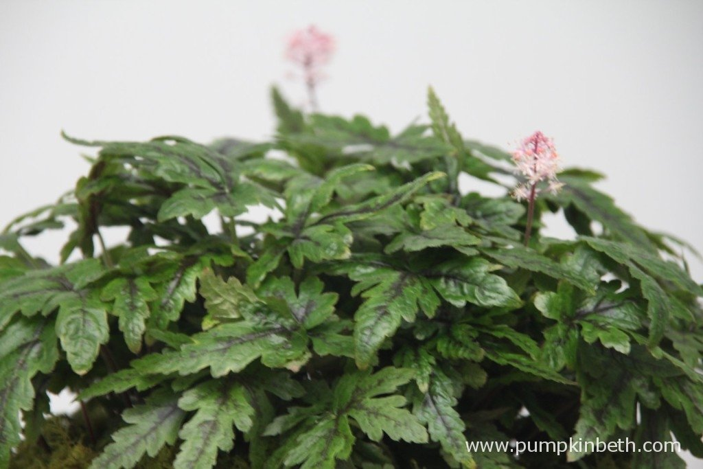 Tiarella 'Angel Wings' (Fox Series)