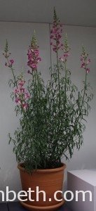 Antirrhinum 'Pretty in Pink' ('Pmoore07')