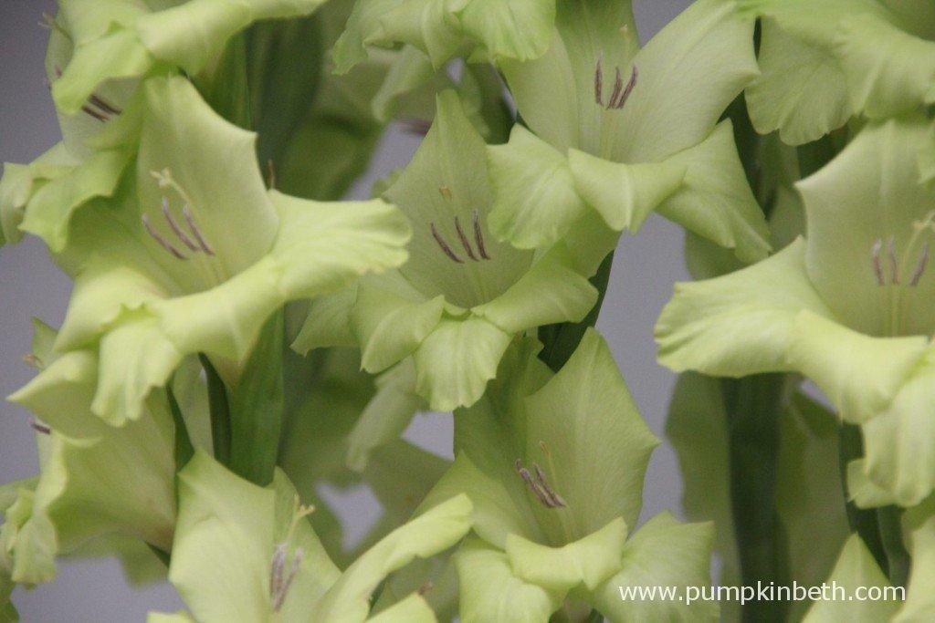 Gladiolus 'Prima Verde'