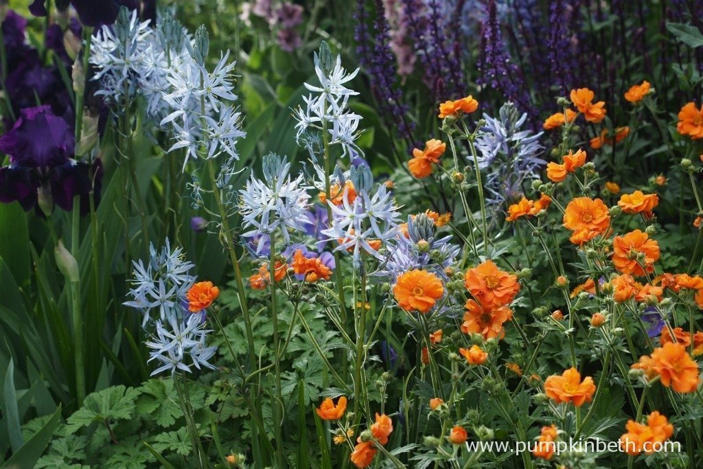 The Camassia featured in the garden were all grown by Hare Spring Cottage Plants. The energetic orange Geum 'Prinses Juliana' and the dark coloured Iris 'Sable' were supplied by Todds Botanics.