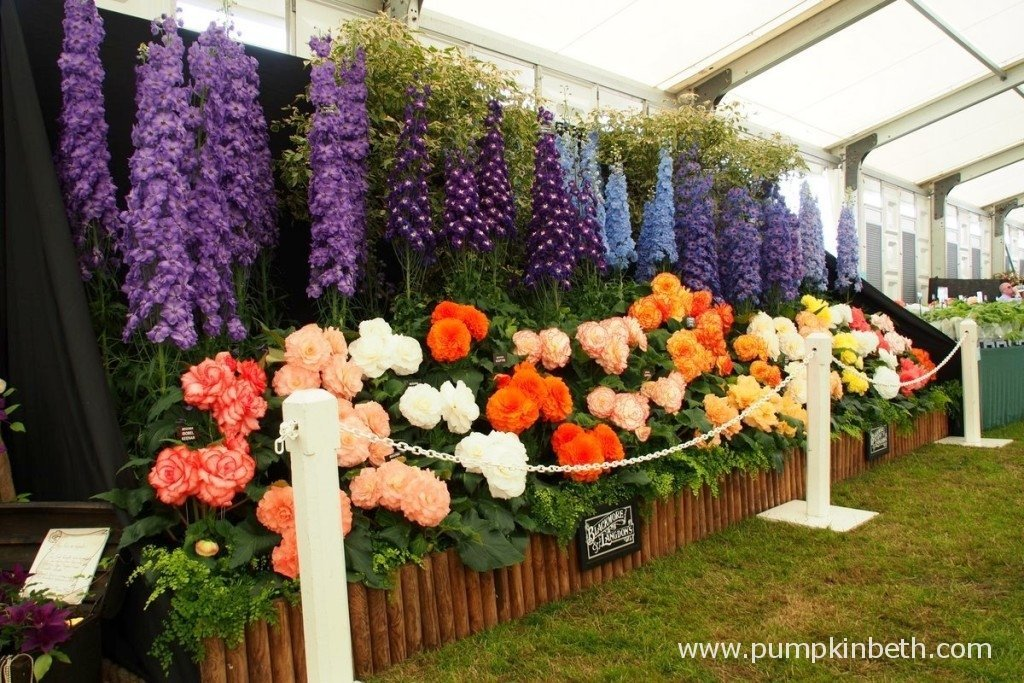 A heart warming display of Gold Medal winning Delphiniums and Begonias from Blackmore & Langdon.