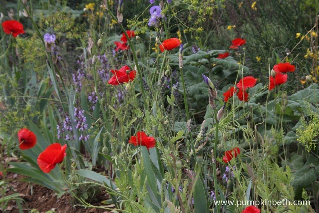 The poppies contrasted well with the other plants in the garden, and shone out through the rain at the RHS Chelsea Flower Show.