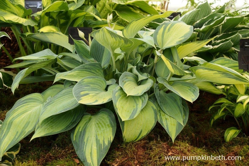 Hosta 'June' as seen on Bowden Hostas stand at The RHS Hampton Court Palace Flower Show 2015.