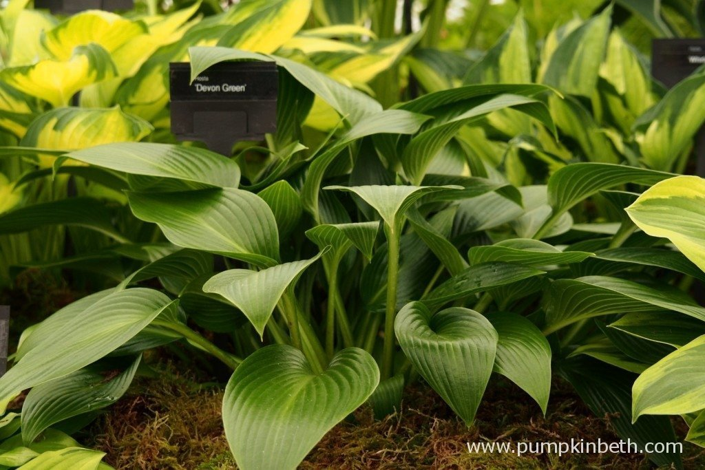 Hosta 'Devon Green' - I took this photo at the RHS Hampton Court Palace Flower Show 2015, where I photographed this beautiful Hosta on the Bowden Hostas stand.