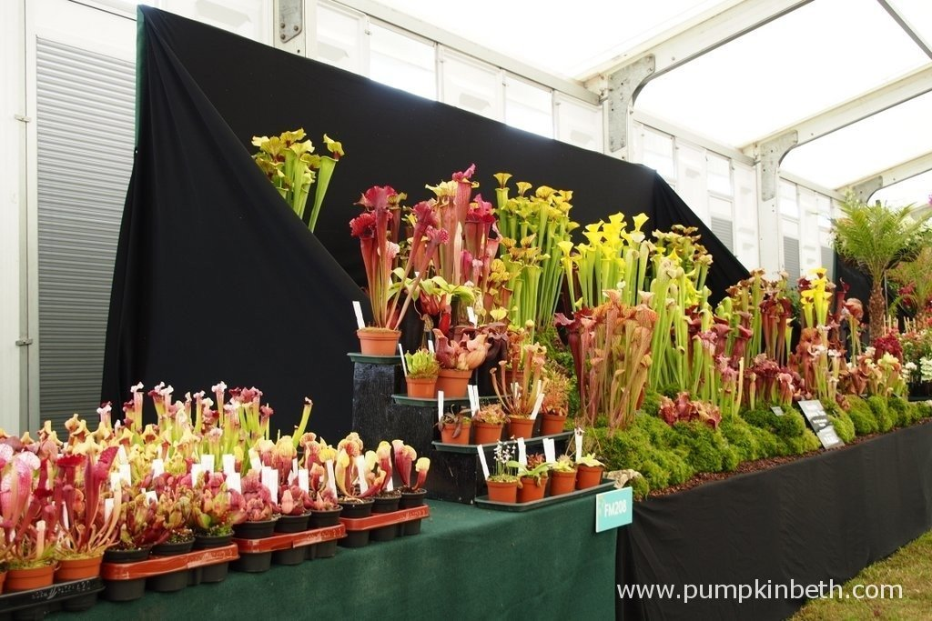 This is the Gold Medal winning exhibit of carnivorous plants at the 2015 RHS Hampton Court Palace Flower Show. Hampshire Carnivorous Plants are based in Horton Heath, in Hampshire, they have been growing carnivorous plants for over 35 years, they sell an extensive range of carnivorous plants, compost, books and sundries for the amateur and expert carnivorous plant enthusiast. You can visit Hampshire Carnivorous Plants website by clicking here.