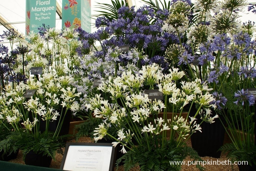 This is the Gold Medal winning display of Agapanthus and Tulbaghia from the Hoyland Plant Centre at the 2015 RHS Hampton Court Palace Flower Show. The Hoyland Plant Centre is a small, family run business from the Pennines in South Yorkshire. You can visit the Hoyland Plant Centre's website by clicking here.