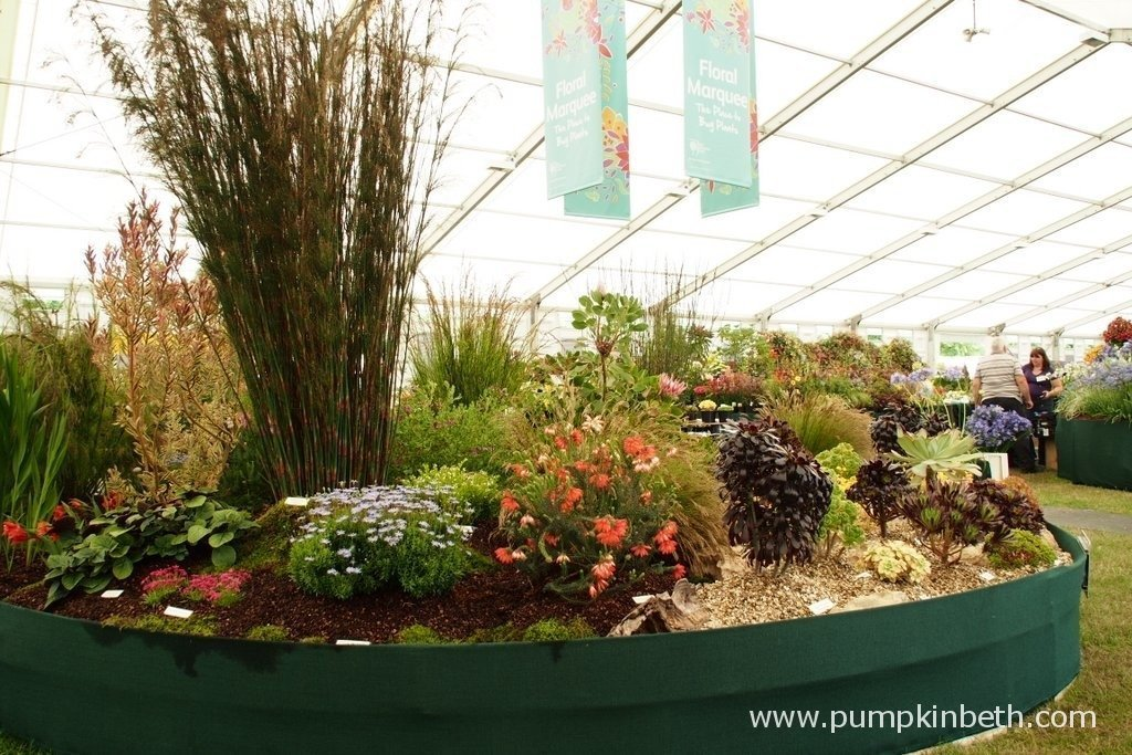 This is the amazing Gold Medal winning display of Protea, Restio, succulents and exotic plants from Trewidden Nursery at the 2015 RHS Hampton Court Palace Flower Show. Trewidden are a small, family run nursery, based in Cornwall.
