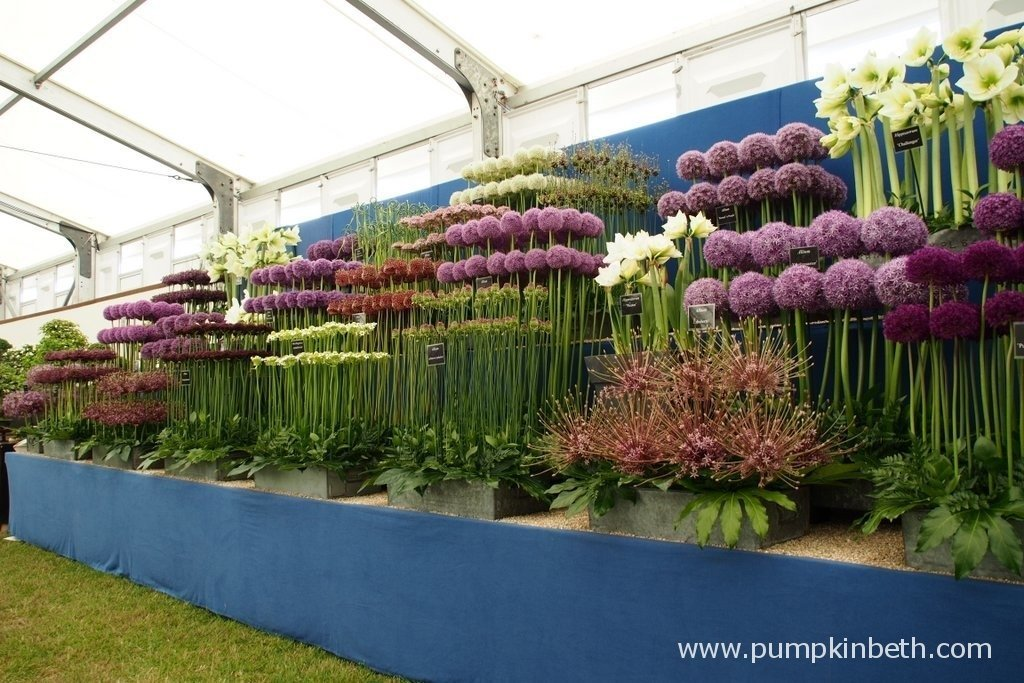 Here's W. S. Warmenhoven's Gold Medal winning display of Allium, Hippeastrum, Ornithogalum and Nectaroscordum at the 2015 RHS Hampton Court Palace Flower Show. W. S. Warmenhoven are specialist growers of Allium and Hippeastrum, the nursery was founded in 1885. You can find the W. S. Warmenhoven website by clicking here.