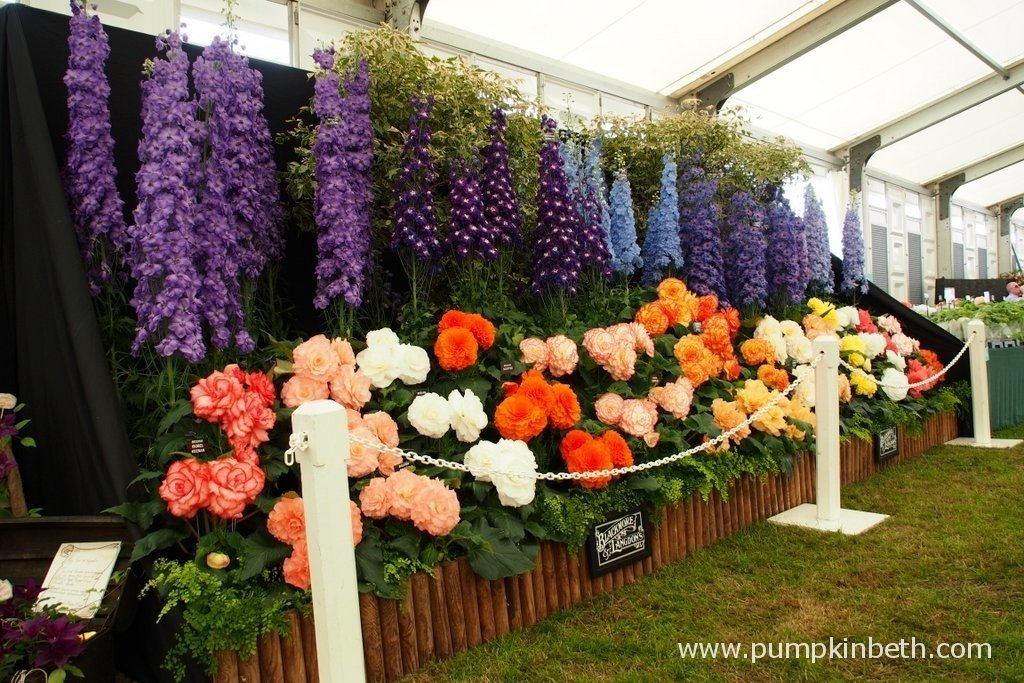 This is the Gold Medal winning display of Delphiniums and Begonias from Blackmore & Langdon at the RHS Hampton Court Palace Flower Show 2015. Blackmore & Langdon are a family run nursery, established in 1901.