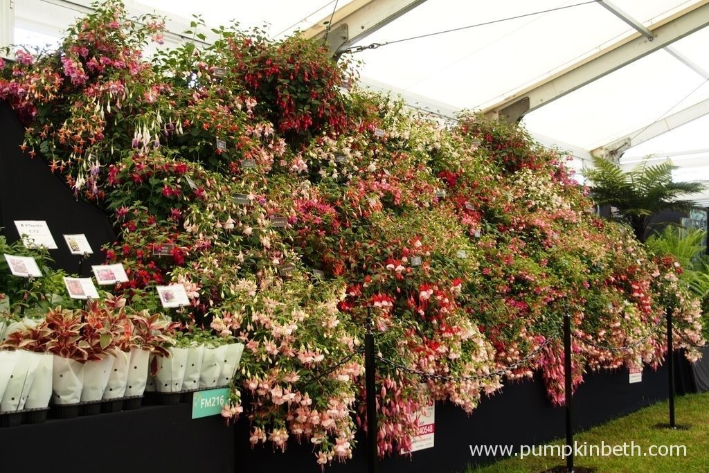 This is the 2015 Gold Medal winning exhibit from Roualeyn Fuchsias at The RHS Hampton Court Palace Flower Show. Roualeyn Fuchsias are a family run nursery, from the Conway Valley in North Wales; they currently stock over 400 varieties of Fuchsia. You can visit Roualeyn Fuchsias nursery by clicking here.