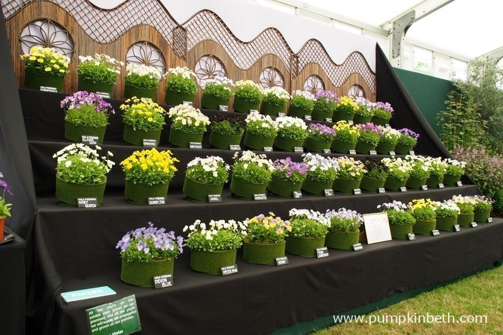 This is the 2015 Gold Medal winning display from Victorian Violas at the RHS Hampton Court Palace Flower Show. Victorian Violas are based in Lincoln and run by Rob Chapman. You can visit the Victorian Violas website by clicking here.