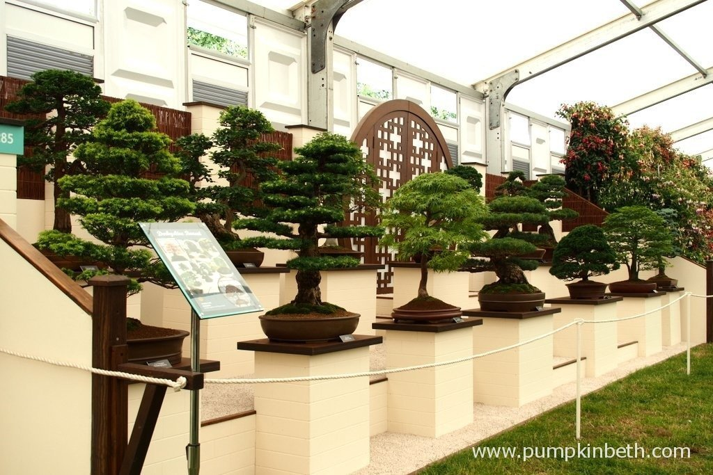 This is the 2015, Gold Medal winning exhibit from Derbyshire Bonsai at the RHS Hampton Court Palace Flower Show.