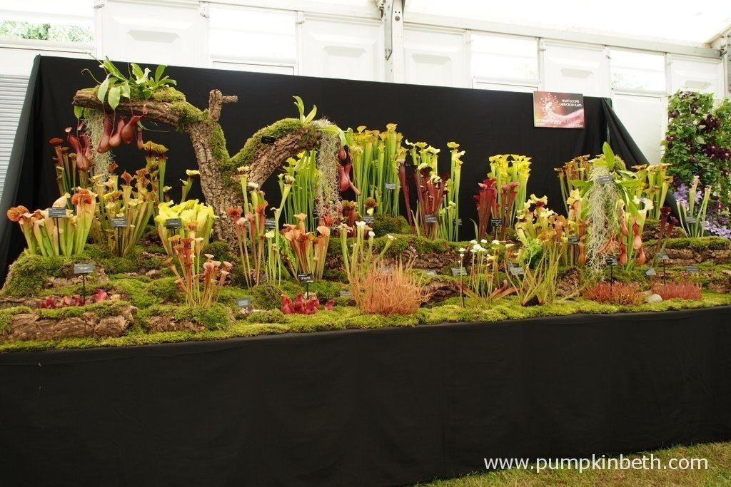This impressive display of temperate and tropical carnivorous plants from Hewitt-Cooper Carnivorous Plants was awarded a Gold Medal at the 2015 RHS Hampton Court Palace Flower Show. Run by Nigel Hewitt-Cooper, Hewitt-Cooper Carnivorous Plants is based in Somerset and holds a National Collection of Sundews or Drosera.