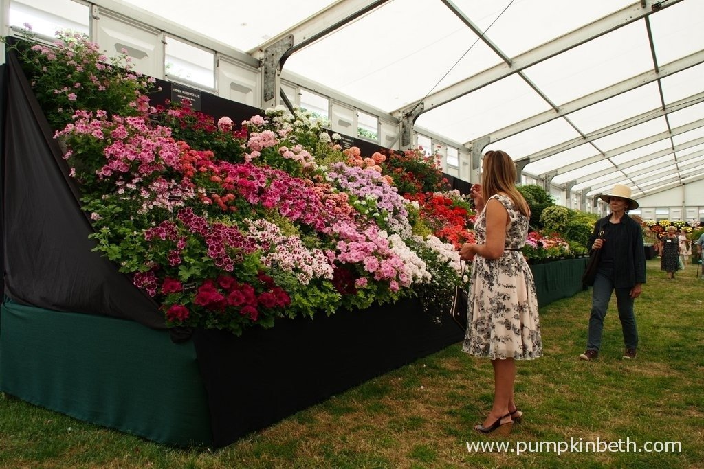 This is the Gold Medal winning display of Pelagoniums from Fibrex Nurseries Ltd at the RHS Hampton Court Palace Flower Show 2015. Fibrex were established by Hazel and Dick Key 46 years ago. Fibrex are a family run nursery and holders of National Collections of Hedera and Pelargonium.