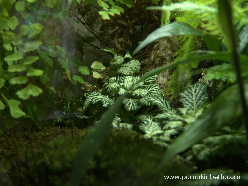 This is the very base of my Adiantum raddianum, to see this aspect of the fern I lifted up the older fronds, which have a naturally arching habit to reveal the base of the plant.