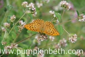 Big Butterfly Count 2015