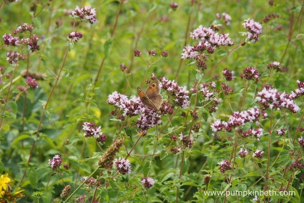 A Meadow Brown butterfly, or Maniola jurtina, as is its scientific name, feeding on Origanum vulgare, also known as wild marjoram.