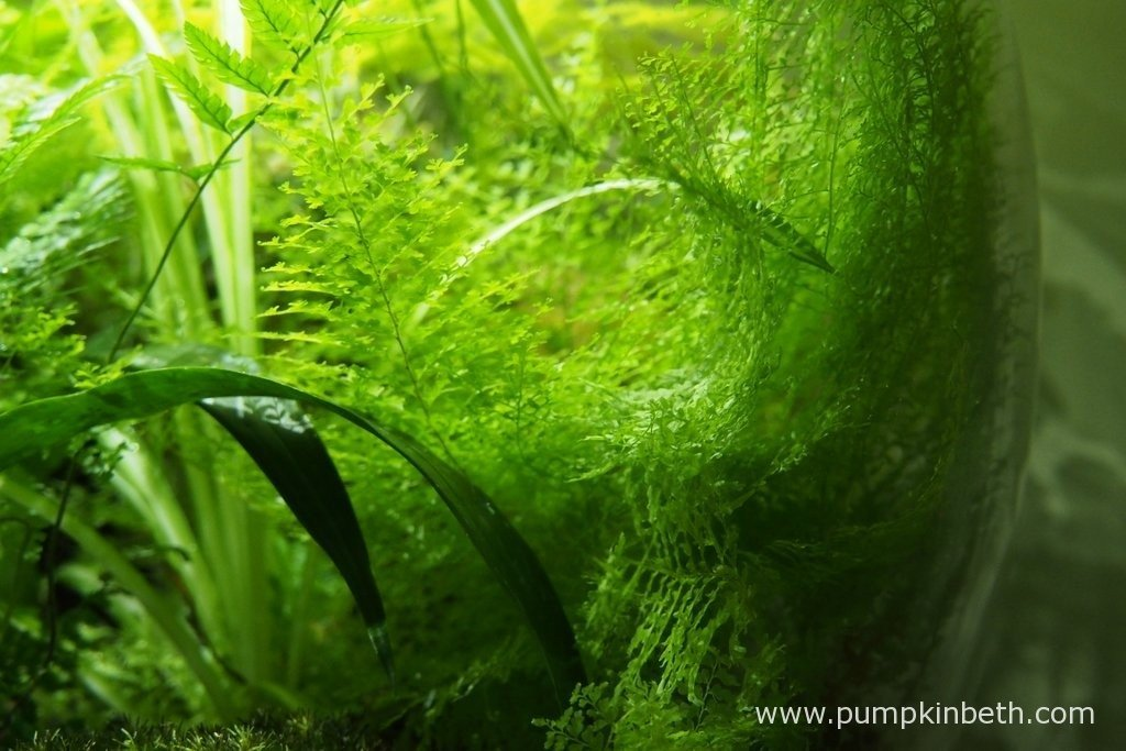 I love the my Nephrolepis exaltata 'Fluffly Ruffles'. This is such a beautiful fern, it appears delicate and intricate. This fern absolutely thrives in the BiOrbAir - I am so glad I chose to plant it in this terrarium.