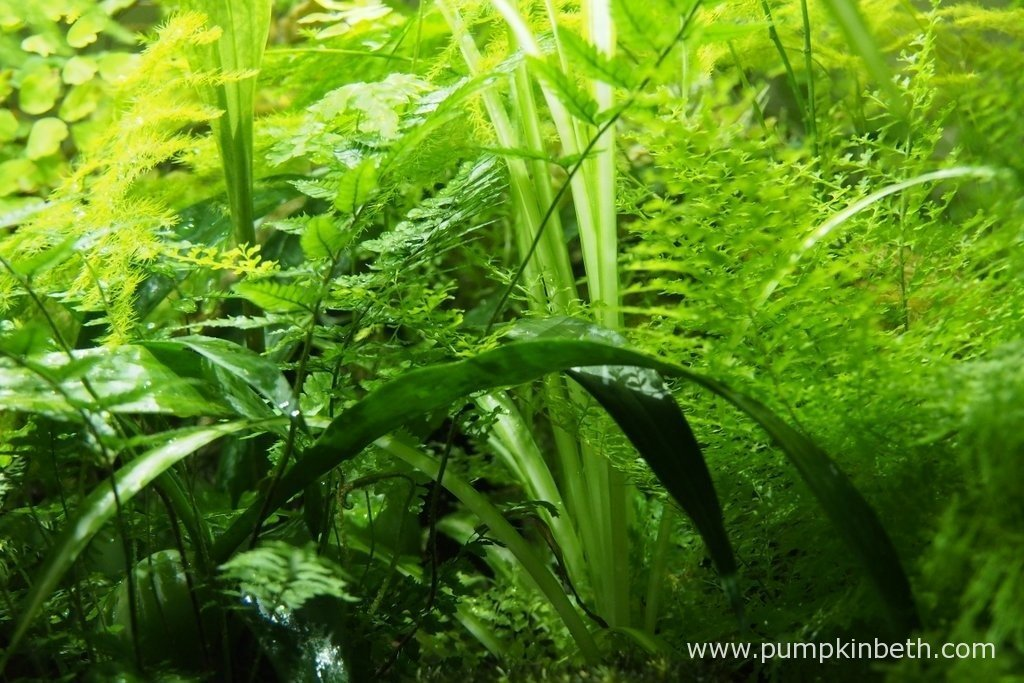 A close up of the plants inside my BiOrbAir - 7th August 2015. My Polystichum tsussimense fern is growing well and adds a delicate beauty to terrarium. My chlorophytum comosum 'Variegatum' is also growing well, as is my Asparagus plumosus and my Nephrolepis exaltata 'Fluffy Ruffles'.