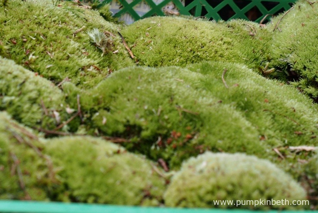 My punnet of Pillow moss ready to be planted inside my BiOrbAir terrarium.