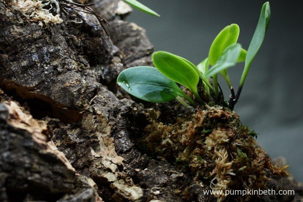 Here's my Masdevallia decumana, as pictured on the 30th August 2015, inside my Miniature Orchid Trial BiOrbAir Terrarium.