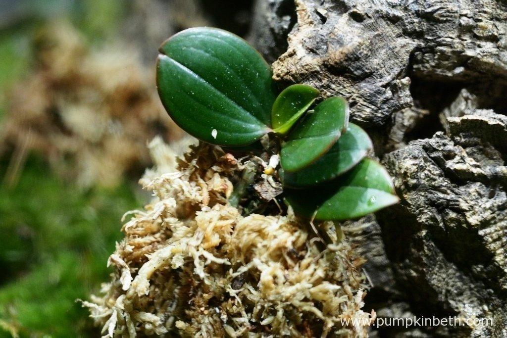 My Aerangis fastuosa, as pictured on the 30th August 2015, inside my Miniature Orchid Trial BiOrbAir Terrarium.