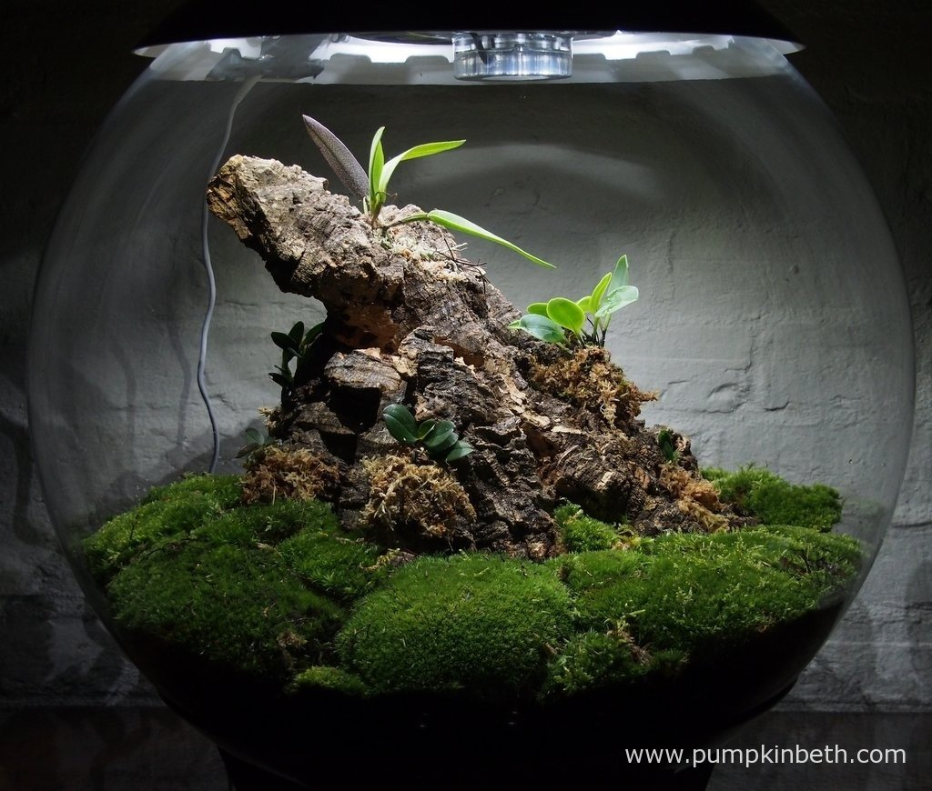 My Miniature Orchid BiOrbAir terrarium on 26th August.