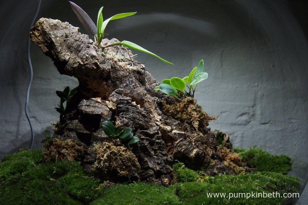 My Miniature Orchid BiOrbAir terrarium on 26th August.