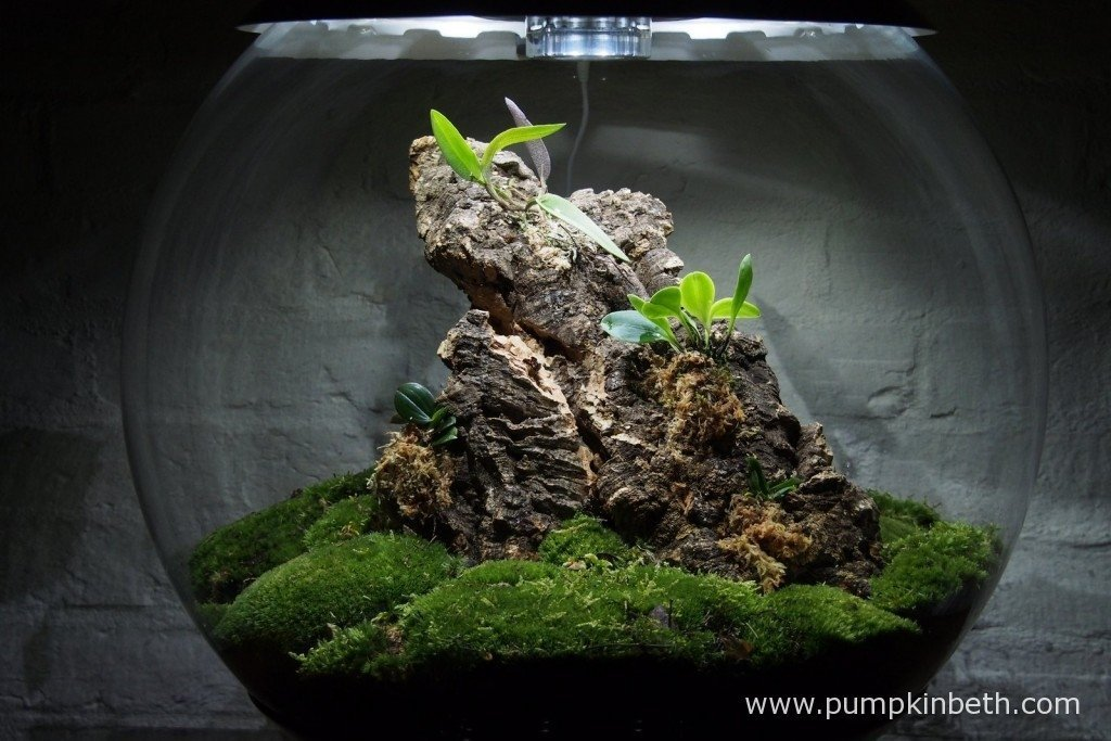 My Miniature Orchid Trial BiOrbAir Terrarium, as pictured on 26th August 2015.