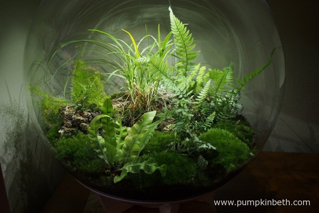 My BiOrbAiR on 25th September 2015 - it's exactly a year ago today that I first planted up this terrarium.
