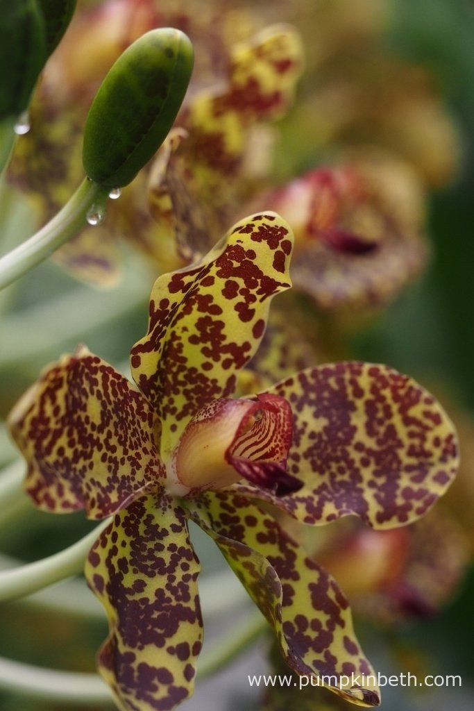 A close up of an individual Grammatophyllum speciosum flower at The Royal Botanic Gardens, Kew.