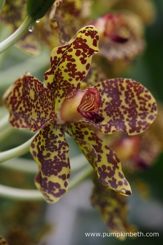 An close up of an Grammatophyllum speciosum flower. Photograph taken at the Royal Botanic Gardens, Kew on 24th September 2015.