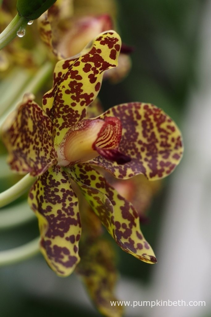 A close up of a Grammatophyllum speciosum flower. This is the largest orchid in the world, it's flowering now at The Royal Botanic Gardens, Kew.
