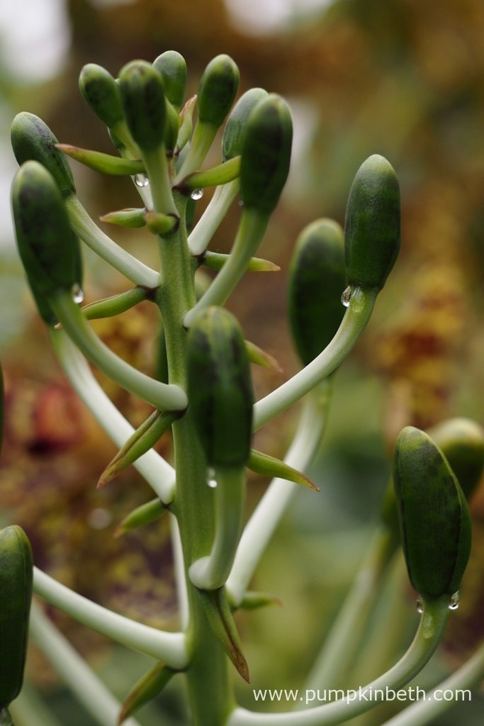 New buds at the tip of the still growing flower spike on the Grammatophyllum speciosum, also known as the Queen of Orchids, flowering inside the Tropical Nursery at The Royal Botanic Gardens, Kew. This photograph was taken on 24th September 2015, so there's time for you to visit the beautiful gardens at Kew and book your place to see this interesting orchid.
