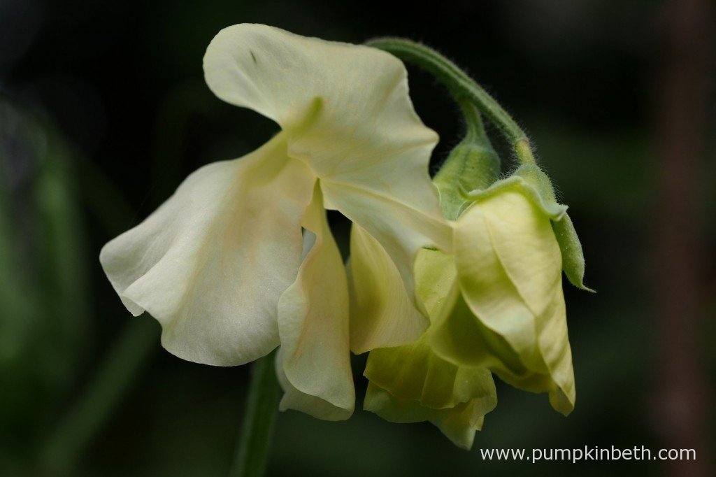 Lathyrus odoratus 'Pip's Cornish Cream', a beautiful cream Sweet Pea.