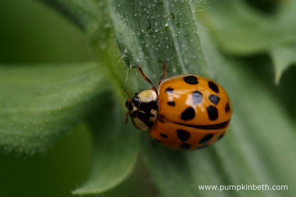 A Ladybird on my Sweet Pea plants.