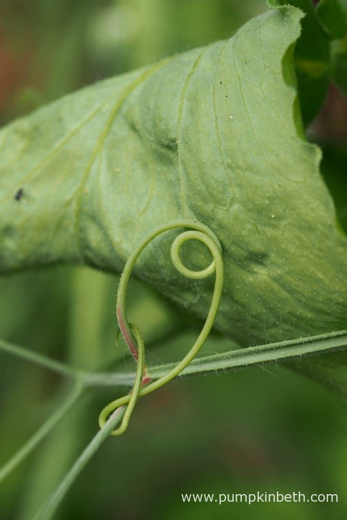 Some Sweet Pea tendrils form beautiful, intricate shapes.