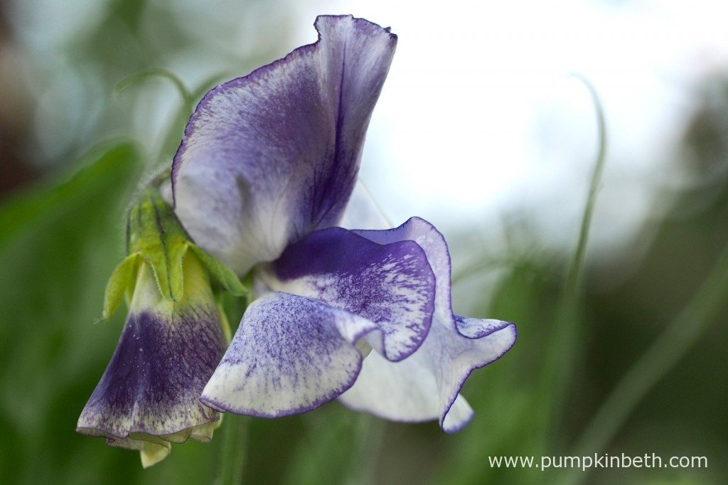 Sweet Pea 'Frances Kate' also known as Lathyrus odoratus 'Frances Kate', a pretty Sweet Pea with a deep blue picotte edge. Deep blue stripe on white ground.
