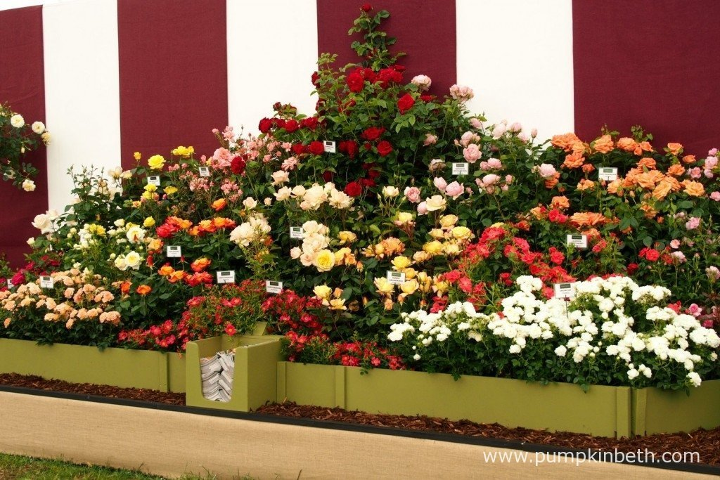 Some of the new Rose varieties that were launched at the RHS Hampton Court Palace Flower Show.