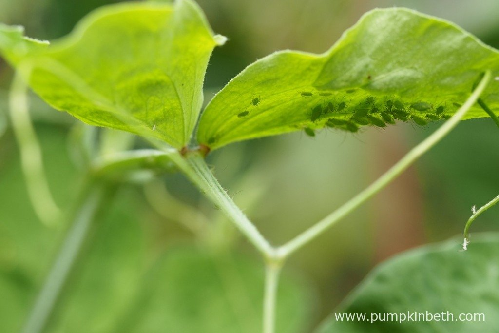 Aphids on the underside of the Sweet Pea leaves.