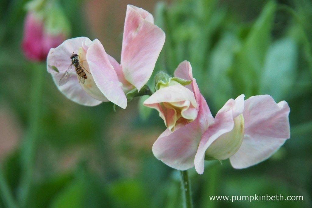 An Episyrphus balteatus, also known as a marmalade hoverfly, on Sweet Pea 'Susan Burgess'.