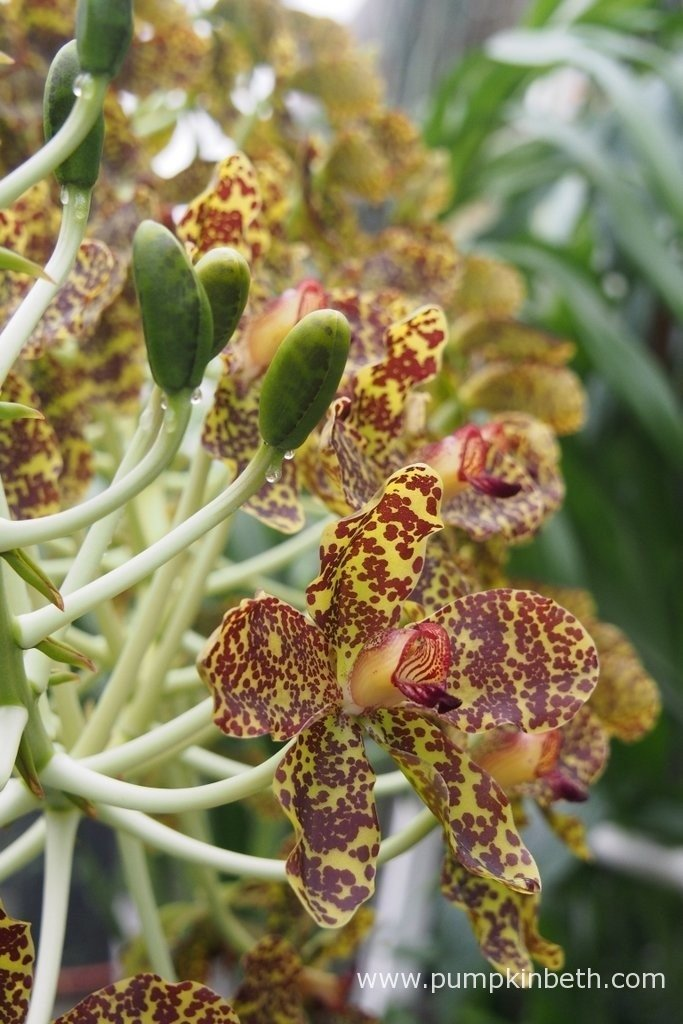 Grammatophyllum speciosum, also known as the Queen of Orchids, is flowering now, inside the Tropical Nursery at The Royal Botanic Gardens, Kew. It's very difficult to grow this orchid to flowering size in Temperate regions of the world, it's an amazing achievement for the team of experts working at Kew.